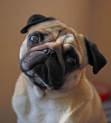 Barney the pug. (Steve Farrow Photography) Tags: portrait pug posing animals natural light dogs pets eyes