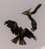 Near miss! (claret251) Tags: kite hawk conservancy collision