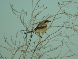Winter solstice Loggerhead Shrike