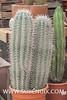 Echinopsis atacamensis-3 (SUBENUIX) Tags: cactaceae echinopsisatacamensis suculentas subenuix subenuixcom planta suculent suculenta botanic botanical