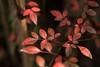 葉 (23fumi@fuyunofumi) Tags: ilce7rm3 sony 55mm aimicronikkor55mmf28s manualfocus fmount macro leaf autumn 葉 植物 nikon nikkor
