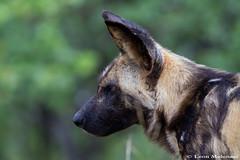 African Wild Dog (leendert3) Tags: leonmolenaar wildlife nature krugernationalpark southafrica mammal africanwilddog ngc npc