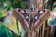 Atlasspinner - Attacus atlas (tom22_allgaeu) Tags: atlasfalter weibchen butterfly schmetterling animals nikon d7200 nikkor 40mm attacus