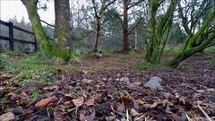 red squirrel (andrewmckie) Tags: redsquirrel rothiemurchus lochaneilein scottishwildlife scottish scotland wildlife
