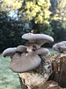 Oyster Mushrooms (Simon Caunt) Tags: closeup macro iphone7plus iphonecamera iphone it'sgrimupnorth southyorkshire bessacarr doncaster deadwood edible garden ourgarden mygarden fungi oystermushroom grayoystermushroom greyoystermushroom commonoystermushroom