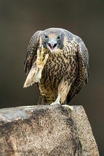Young Peregrine Falcon with an attitude