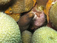 IMG_1186 (adrienweckel) Tags: adrienweckel gymnothoraxmiliaris murèneporcelaine poissons