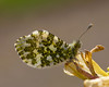 Orange Tip (microwyred) Tags: events nature butterflyinsect leaf animalwing greencolor beautyinnature flower animal lepidoptera plant wildlife jasper macro closeup butterfly orangetip multicolored insect outdoors fragility summer yellow springtime trenchwood