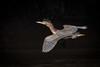 Flying Light (gseloff) Tags: greenheron bird flight bif wildlife nature animal contrast shadow alligatoralley bayou horsepenbayou pasadena texas kayak gseloff