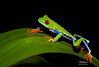 FirstRedEye2 (TRAdamson Photography) Tags: costarica costa rica rainforests travel centralamerica puravida frog frogs amphibians tropicalfrogs redeyedtreefrog treefrog treefrogs red redeyed eyes herping herpetology herps costaricanherps costaricanrainforests