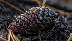 Pine Cone (SantanaaBananaa) Tags: 7dwf macro macrophotography nature naturephotography pinecone florida closeupphotography closeup sony sonya6000