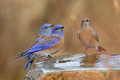 Western Bluebird (Alan Gutsell) Tags: birds bird birding newmexico wildlife nature alan mountain cold western bluebird westernbluebird songbird