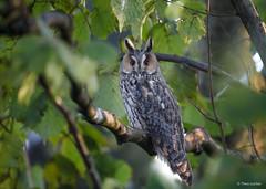 Long-eared Owl - Ransuil - Asio otus - -0271 (Theo Locher) Tags: ransuil longearedowl waldohreule hiboumoyenduc asiootus birds vogels vogel oiseaux owls netherlands nederland copyrighttheolocher