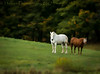 Horses (HSS) (13skies) Tags: field farmersfield land farmersland horses looking waiting slider slidersunday whitehorse sonya99 distance staring summer open equine slide happyslidersunday effect elements photoshop blur blurred bambootablet postprocessing art