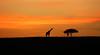 Sunrise in the Masaï Mara - Kenya (lotusblancphotography) Tags: africa afrique kenya masaïmara sunrise aurore girafe giraffe sky ciel nuages clouds arbre tree