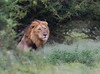 Lion after heavy rain (jaffles) Tags: southafrica südafrika kruger np krügernationalpark natur nature wildlife safari olympus