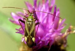 Adelphocoris lineolatus - 21 IX 2017 (el.gritche) Tags: heteroptera france 40 garden asteraceae centaurea miridae adelphocoris lineolatus adelphocorislineolatus
