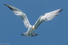 Royal Tern (Thalasseus maximus maximus) (paulwatts980) Tags: tern royal tobago caribbean sea westindies d810 nikon 200500mmf56 nikkor avian wild wildlife seabird inflight flying