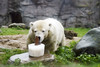 Eisbär (Michael Döring) Tags: gelsenkirchen bismarck zoomerlebniswelt zoo pk eisbär polarbear afs2470 d850 michaeldöring