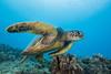 turtle2Nov17-17 (divindk) Tags: cheloniamydas hawaii hawaiianislands maui underwater diverdoug endangeredspecies greenseaturtle marine ocean reef sea seaturtle turtle underwaterphotography