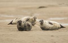 Joyeux Noël (Eric Penet) Tags: phoque veaumarin gris animal sauvage grey seal wildlife wild berck pasdecalais france faune nature décembre hiver opale côte dopale mammifère mammal