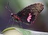 Butterfly (deveronclarijs) Tags: animal zoo dierentuin dieren dier vlinder butterfly nectar blijdorp nederland nl nikon nikond5300 d5300 rotterdam macro animals diergaarde vlindertuin butterflygarden garden