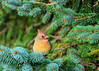 Cardinal Christmas Card (dbking2162) Tags: female cardinal birds bird pinetree christmastree christmas card wildlife green evergreen nature nationalgeographic indiana