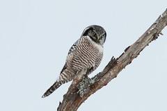*** Épervière boréale / Northern Hawk-Owl (ricketdi) Tags: bird épervièreboréale northernhawkowl surniaulula his coth5
