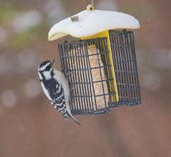 Downy Woodpecker (Picoides pubescens) (ekroc101) Tags: birds downywoodpecker picoidespubescens illinois elmwoodpark