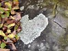 Heart Shaped Lichen (pris matic) Tags: heart shaped lichen rock leaves nature 50mm14 nikon50mm14