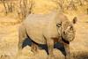 7_IMG_8830 (SteakTaylor) Tags: namibia etosha rhinoceros blackrhino rhino