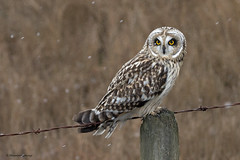 Short-eared Owl   Hibou des marais (shimmeringenergy) Tags: shortearedowl hiboudesmarais asioflammeus britishcolumbia snowflake flocondeneige canon70d ef100400f4556lisiiusm
