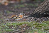 Brambling (Male) The Lodge RSPB 15-12-2017-184 (seandarcy2) Tags: finch brambling the lodge rspb sandy beds uk woodland birds wildlife winter migrants