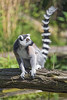Ring tailed lemur on the branch (Tambako the Jaguar) Tags: lemur catta ringtail ringtailed primate black white sitting log branch water posing holding tail berlin tierpark germany nikon d5