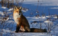 Foxy (Guy Lichter Photography - 3.9M views Thank you) Tags: canon 5d3 canada manitoba hecla heclaprovincialpark wildlife animals mammal mammals fox redfox renard mammifères