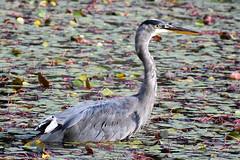 Blue Heron 01 (Vokell) Tags: bird blueheron heron water green grey blue lily lilypads vokell nikon d7200 animal