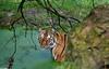 Zoo Jurques (GL Showa) Tags: jurques tigre zoo animaux félin