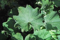 Alchemilla mollis (lady's mantle) 1 (James St. John) Tags: alchemilla mollis ladys mantle angiosperm angiosperms plant plants