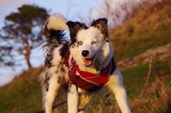 playtime (Sundornvic) Tags: puppy haughmondhill woods trees shropshire hill dog collie blue merle