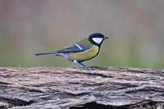 Cinciallegra _006 (Rolando CRINITI) Tags: cinciallegra uccelli uccello birds ornitologia cisliano natura