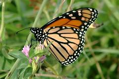 Monarch Butterfly 488 - Danaus Plexippus (Chrisser) Tags: insects insect butterflies butterfly monarch danausplexippus nature ontario canada canoneosrebelt6i canonef75300mmf456iiiusmlens nymphalidae