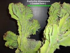 Euphorbia kibwezensis -Crested form (Pic #1 stem growth example) (mattslandscape) Tags: euphorbia kibwezensis form plant crested cristata interesting crest succulents succulent succulenta kenya northeastern tanzania