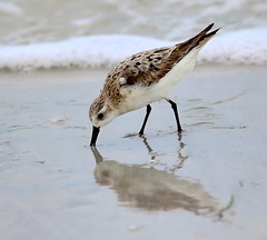 Reflections in the Sand (Darts5) Tags: sandpiper sandpipers seabird bird birds reflections reflection upclose 7d2 7dmarkll 7dmarkii 7d2canon ef100400mmlll closeup canon7d2 canon7dmarkll canon7dmarkii canon canonef100400mmlii