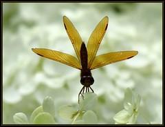 IMG_2086 Fan Tactic 7-22-17 (arkansas traveler) Tags: dragonfly amberwing easternamberwing bichos bugs insects flowers hydrangea whitehydrangea zoom telephoto bokeh bokehlicious