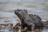 Marine Iguana 500_3658.jpg (Mobile Lynn) Tags: wild marineiguana iguana reptiles nature amblyrhynchuscristatus fauna reptile wildlife baltra galapagosislands ecuador ec coth specanimal coth5