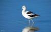 American Avocet 1065 (Ethan.Winning) Tags: americanavocet winter migration breeding