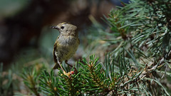 a Goldcrest (2/3)  with a nice catch in the beak (Franck Zumella) Tags: golden crowned kinglet bird oiseau small petit goldcrest roitelet huppe huppé europe 5g nature wild wildlife forest foret tree arbre epine branche branch green vert pine sapin spike sony a7s