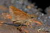 Arnetta atkinsoni - the Atkinson's Bob (BugsAlive) Tags: butterfly mariposa papillon farfalla schmetterling бабочка conbướm ผีเสื้อ animal outdoor insects insect lepidoptera macro nature hesperiidae arnettaatkinsoni atkinsonsbob hesperiinae wildlife doisutheppuinp chiangmai liveinsects thailand thailandbutterflies ผีเสื้อจิ๋วขนจุดขาว bugsalive เชียงใหม่