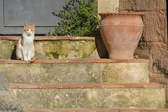 Gatto a Matera (giorgiorodano46) Tags: gatto cat matera basilicata unesco novembre2017 november 2017 giorgiorodano nikon italy