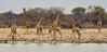 Giraffe gathering (NettyA) Tags: 2017 africa etoshanationalpark namibia giraffe giraffedrinking giraffemeetup waterhole wildlife